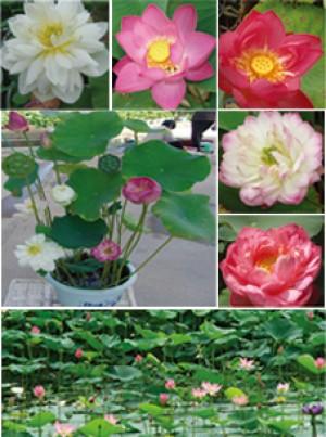 Indische Lotosblume Nelumbo nucifera Lotus kleine Sorten 5-20 Samen